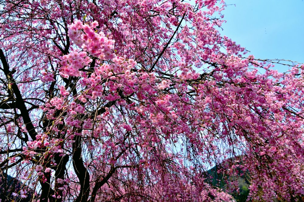 Gorgeous pink weeping cherry blossoms cascading down to the ground
