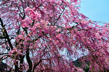 <p>Gorgeous pink weeping cherry blossoms cascading down to the ground</p>