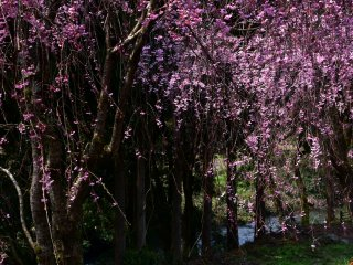 Beside the lines of weeping cherry trees, a beautiful creak flows through the village