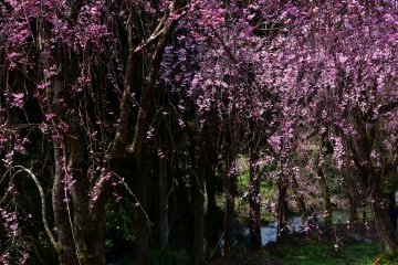 <p>Beside the lines of weeping cherry trees, a beautiful creak flows through the village</p>