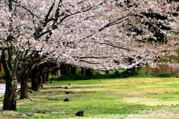 <p>Lines of Somei-yoshino cherry trees in the park. When the blossoms of them fall down the weeping cherry trees start to bloom.</p>