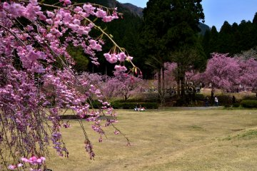 <p>Even during the cherry blossom festival, visitors were sparse on weekdays.</p>