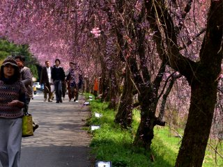 People strolling along the pathway lined with beautiful weeping cherry trees
