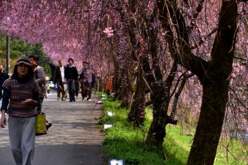 <p>People strolling along the pathway lined with beautiful weeping cherry trees</p>