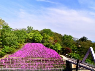 Moss phlox flowers are blooming on both sides of Nishiyama Bridge which connects the eastern and western parts of the spacious Nishiyama Park.