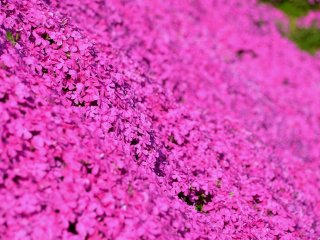 Close-up look at the fully blooming pink moss phlox