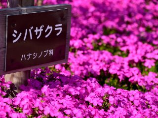 The sign of moss phlox standing in the flowers. It's called 'Shiba-zakura' in Japanese, which literally means cherry blossoms on the lawn.
