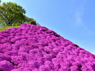 Pink moss phlox mountain on the hillside of Nishiyama Park!