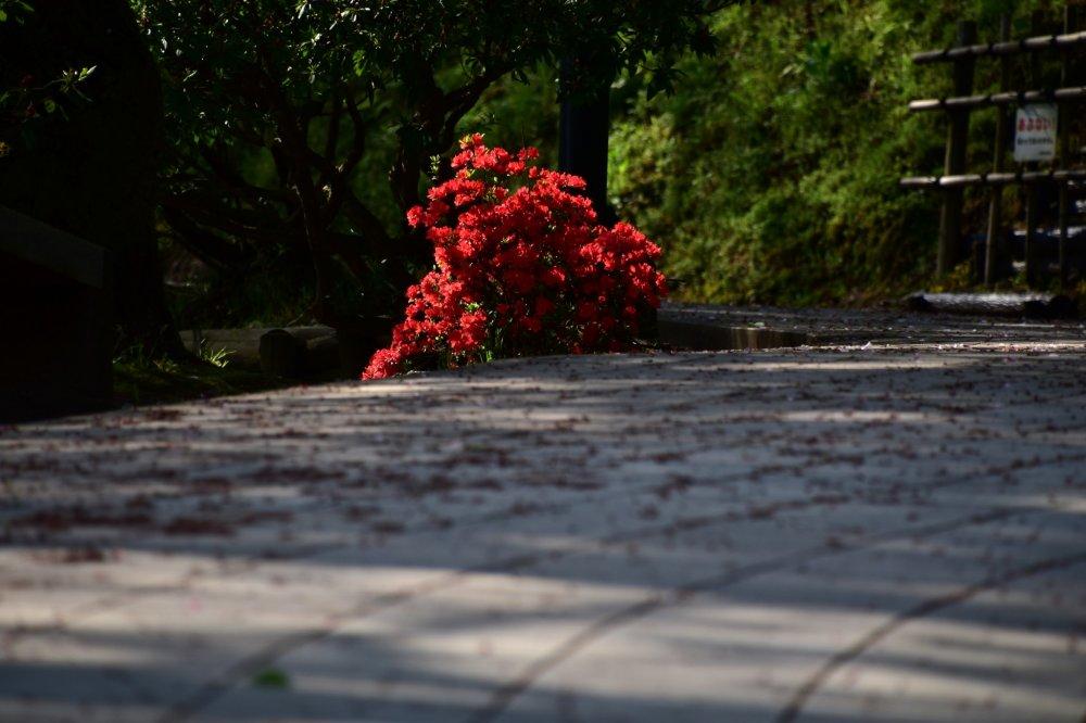 Hoa đỗ quyên đỏ nở bên lối đi trong công viên