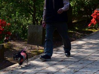 Một người đàn ông và con chó của mình đi dạo dọc theo con đường được trồng với những bông hoa đỗ quyên đỏ