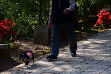 한 남자와 그의 개가 붉은 진달래꽃으로 장식된 길을 따라 산책하고 있다