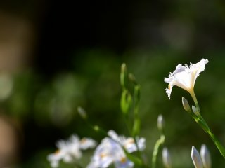Hoa diên vĩ Shaga rạng rỡ dưới ánh mặt trời