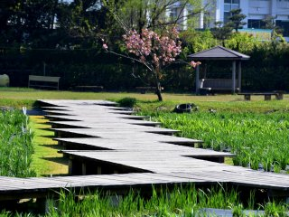 北潟湖畔の菖蒲園内遊歩道。花菖蒲が満開となる6月にはさぞ美しいだろう。