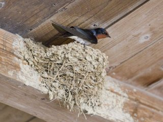 Tsubame, or swallows, nest in rafters like this each spring, with eggs hatching in May