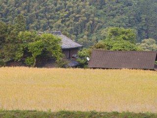 Spring wheat fields