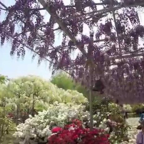 ดอกวิสทีเรียในสวนดอกไม้ Ashikaga