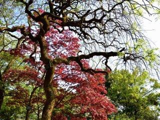 예술적으로 생긴 일본 나무와 늦봄의 붉은 단풍잎