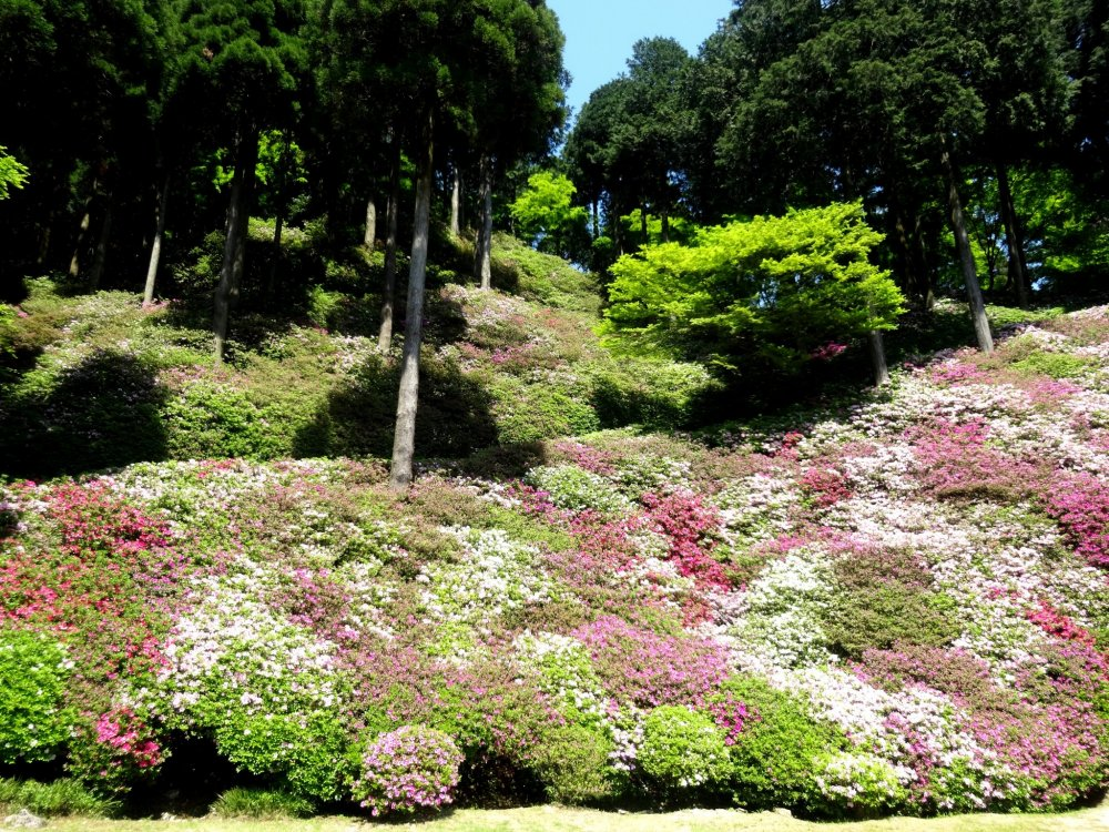 Over 10,000 azalea bushes are planted on this part of the shrine's grounds