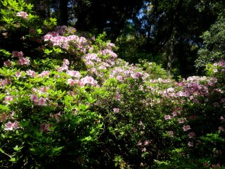 The petals come mostly in hues of pink, with the occasional white flowers here and there