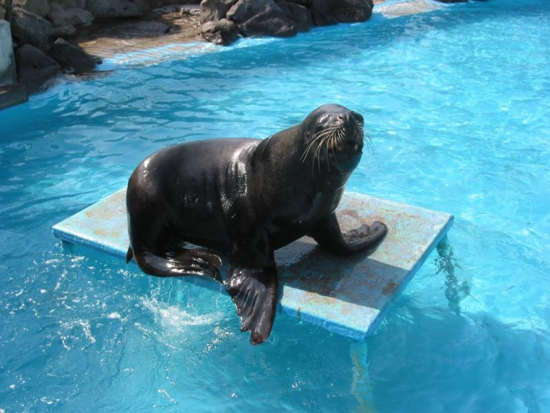 Performing seals at Shibukawa Marine Aquarium