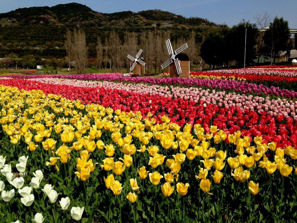 Тюльпаны и мельницы - чем не Голландия?