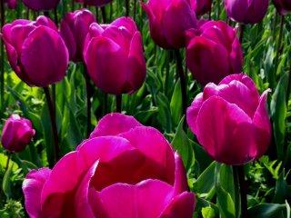 Просто красивые пурпурные тюльпаны