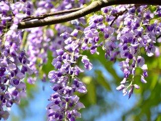 風に揺れる藤の花