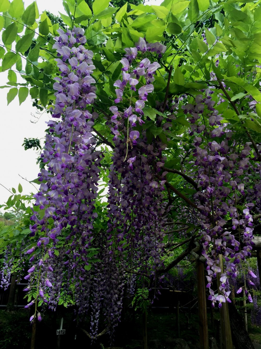 One of more than 20 species of wisteria blooms in the garden