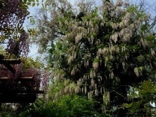 White wisteria enlaced the tree