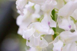 White wisteria blooms