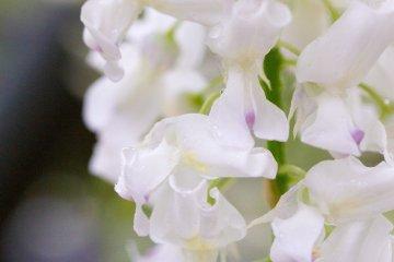 <p>White wisteria blooms</p>