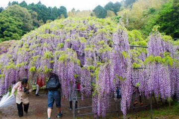 <p>One of the wisteria domes</p>