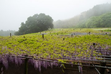 <p>The large trellis; wisteria vines have leaves above, flowers hanging below</p>