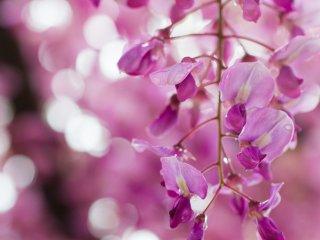 A pink variety up close