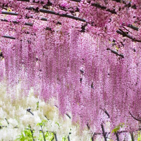 Trải nghiệm đường hầm hoa tử đằng Kawachi