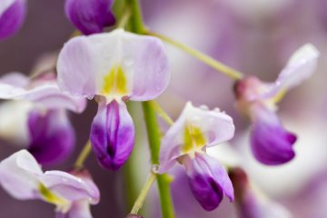 <p>The flowers vaguely resemble orchids, but wisteria is actually a vine that&#39;s part of the pea family</p>