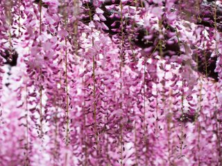 Wisteria also have a very pleasing fragrance