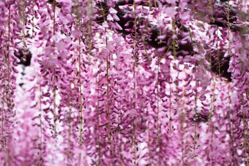 <p>Wisteria also have a very pleasing fragrance</p>