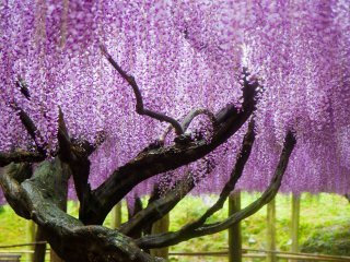 Most of the older, larger wisteria are part of great spreading trellises rather than in the tunnels