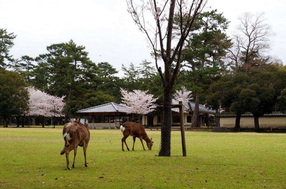 나라공원 입구에서 한가로이 풀을 뜯고 있던 사슴들