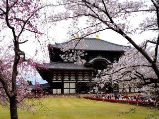 벚꽃나무 사이로 보이는 거대한 대불전