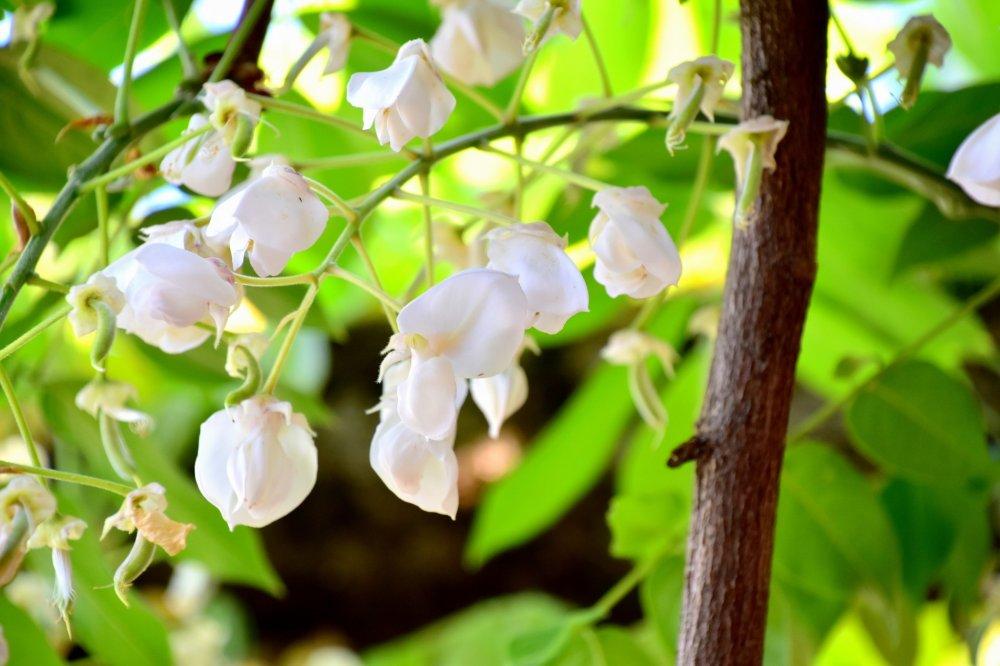 Last blossoms of white wisteria