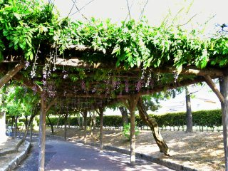 This is the entrance of 200-meter-long wisteria corridor in Murasaki Shikibu Park. Unfortunately most blossoms had already fallen to the ground when I visited.