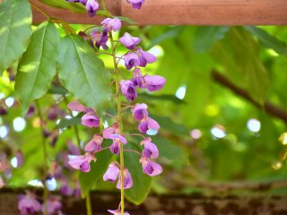 However, there were some blossoms still dangling from the trellis