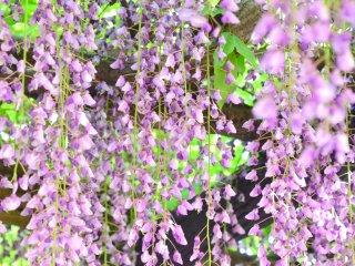 Wisteria flowers looking like purple curtains