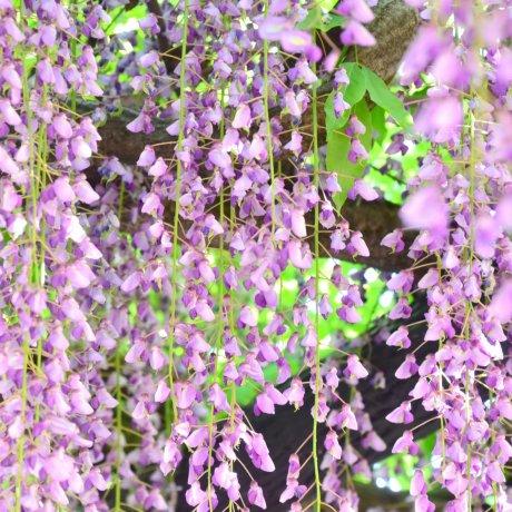 紫式部公園の藤の回廊
