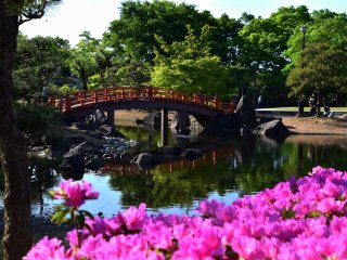 Pink azaleas adding color to a beautifully landscaped garden with red bridge over a pond