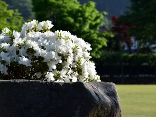 White azaleas on a rock