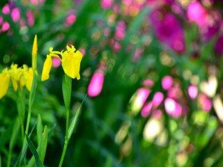 ピンクのツツジを背景に咲く黄色い花菖蒲