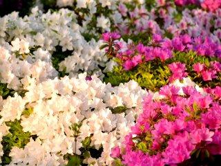 แสงอาทิตย์อัสดงทำให้เกิดเฉดสีทองเหนือดอกอะเซลเลียในสวน